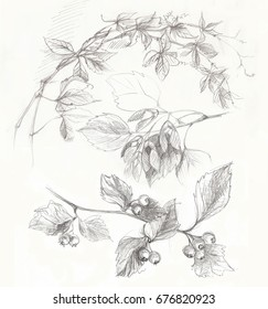 Plant. Pencil drawing. Berries. Foliage. Branch.