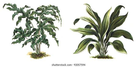 Plant - Polypodium aureum - Golden serpent fern (left) - Plectogyne variegata (right) / Vintage illustration from Meyers Konversations-Lexikon 1897
