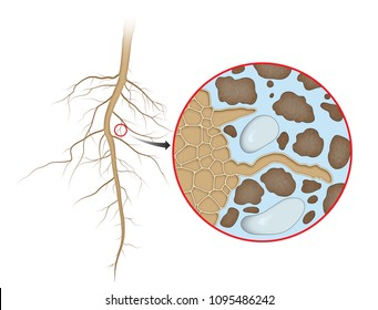Plant root absorption of Water