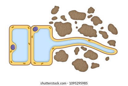 Plant root cell