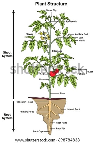 plant structure infographic diagram including all stock illustration Okra Varieties plant structure infographic diagram including all parts of shoot and root systems showing buds flower fruit