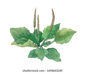 Plantain plant grass isolated on white watercolor hand drawn illustration herbal botany stem green medical psyllium health flora