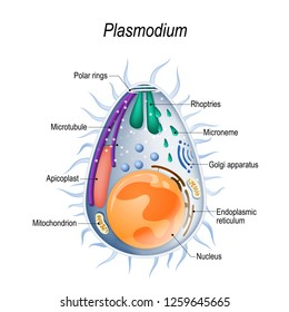 Plasmodium is the malaria parasite, is a large genus of parasitic protozoa. Infection with these protozoans is known as malaria, a deadly disease. Diagram of Plasmodium merozoites  structure