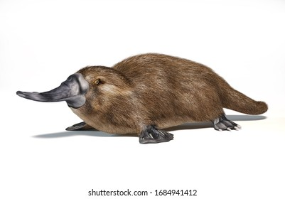 Platypus duck-billed animal. Semi-aquatic mammal, native in eastern Australia. On white background with drop shadow. 3d ilustration.
