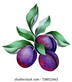 Plums watercolor. Plums set. Watercolor hand drawn illustration, isolated on white background. Sketch with fruit.