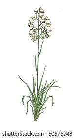 Poa (meadow-grass, bluegrass, tussock)
