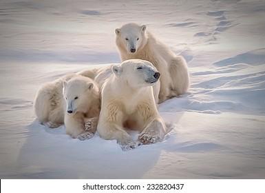 Polar bear and cubs lying on Arctic snow