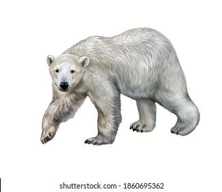 The polar bear (Ursus maritimus) realistic drawing illustration for animal encyclopedia, isolated image on white background