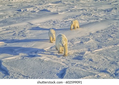 Polar bear walking with her cubs across Canadian Arctic tundra,digital oil painting