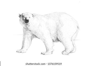 POLAR BEAR_PENCIL DRAWING