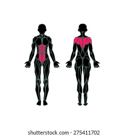 Polygonal anatomy of female muscular system, exercise and muscle guide. Women muscle front view, back view.