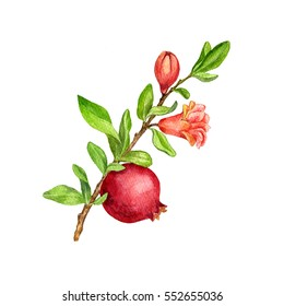 pomegranate tree branch with fruit, leaves, buds and flower drawing by watercolor,isolated hand drawn elements