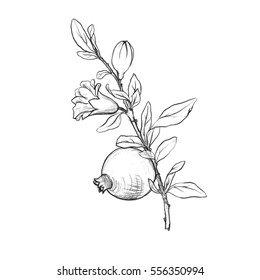pomegranate tree branch with fruit, leaves, buds and flower drawing by graphite pencil,isolated hand drawn elements