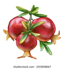 Pomegranates on a branch with green leaves isolated on white background. Beautiful botanical illustration element for invitation cards, postcards, scrapbooks, stickers and notebooks
