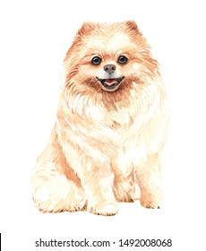 Pomeranian dog. Portrait of a dog. Watercolor hand drawn illustration.Watercolor  Pomeranian sitting layer path, clipping path isolated on white background.