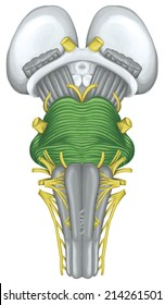 pons, brainstem, brain stem, ventral view, posterior part of the brain, adjoining and structurally continuous with the spinal cord, parts of the diencephalon