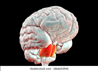 Pons Varolii highlighted inside human brain, 3D illustration. It part of the brainstem, includes neural pathways carrying signals from the brain down to cerebellum and medulla, and into the thalamus