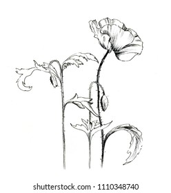 Poppies with buds. Graphical sketch on a white background.