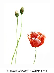 Poppies with buds. Watercolor painting on white background.