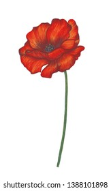 Poppy flower on white background. Pencil drawing. Individual element. Handmade. For illustration, printing, fashion, decor, decoration.