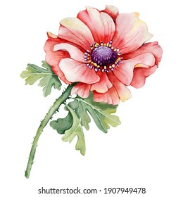Poppy, peony flower, red bud. Hand watercolor illustration isolated on white background. Design for wedding printed matter, invitation, congratulations, clipart, postcard, birthday.