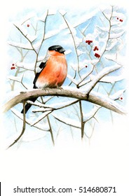 Portrait of a bullfinch on the snowy branches. Bullfinch watercolor. Bird on a branch.