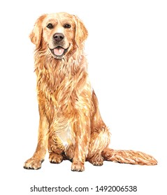Portrait golden retriever of a dog. Watercolor hand drawn illustration.Watercolor golden retriever sitting layer path, clipping path isolated on white background.
