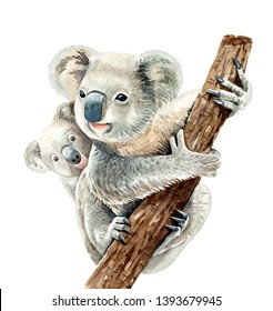 Portrait koala and baby koala. Watercolor hand drawn illustration.Watercolor koala and tree branch layer path, clipping path isolated on white background.