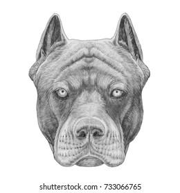 Portrait of Pit Bull, hand-drawn illustration
