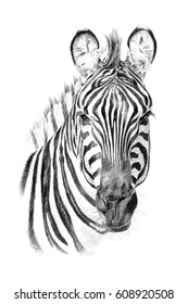 Portrait of zebra drawn by hand in pencil. Originals, no tracing
