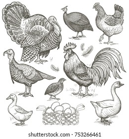 Poultry set. Birds rooster, chicken, turkey, grouse, guinea fowl, goose, duck and basket with eggs isolated. White and black.  Illustration vintage.