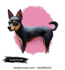 Prazsky Krysarik dog portrait isolated. Digital art illustration of hand drawn dog for web, t-shirt print and puppy food cover design. Prague Ratter small breed of dog from the Czech Republic, PK dog
