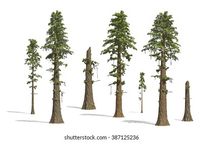 Prehistoric Sequoia tress render on white background.