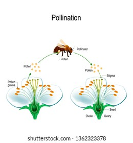 The process of cross-pollination using an animal of pollinator (bee). Anatomy of a flower. Flower Parts. Detailed Diagram with cross section. Reproduction in Plant. useful for study botany