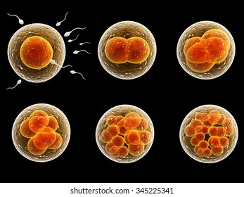 Process division of fertilized cell. Isolated on black background