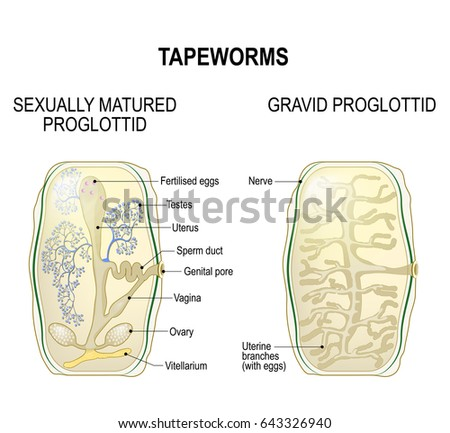 Proglottid Taperworms Sexually Mature Proglottid Gravid Stock