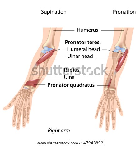Pronators Muscles Forearm Labeled Stock Illustration 147943892 ...