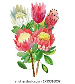 Protea flowers Card with beautiful flowers. Bright exotic plants isolated on white background. Botanical illustration of summer flora.