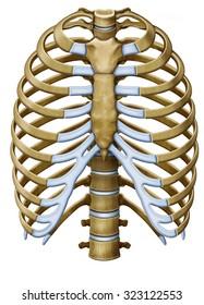 Protextora bone rib cage or internal organs of thorax