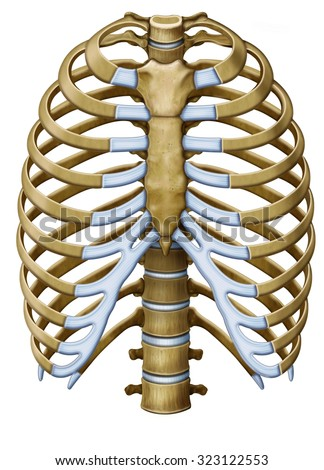 Protextora Bone Rib Cage Internal Organs Stock Illustration