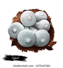 Puffball mushroom closeup digital art illustration. White boletus which clouds of brown dust spores emitted when fruitbody impacted. Mushrooming season, plant of gathering plants growing in forest