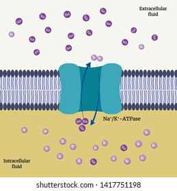 Sodium–potassium pump.  An enzyme (found in the plasma membrane of all animal cells