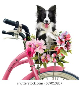 The puppy collie rides in the basket on the bike