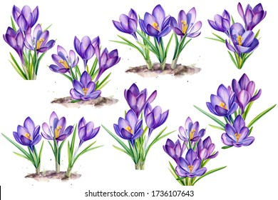 purple crocus flowers on an isolated white background, hand painted in watercolor, botanical illustration
