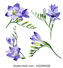Purple freesia. Floral botanical flower. Wild spring leaf wildflower isolated. Aquarelle wildflower for background, texture, wrapper pattern, frame or border.