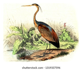The purple heron, vintage engraved illustration. From Buffon Complete Work.