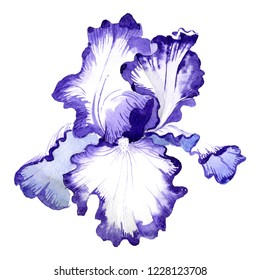 Purple iris. Floral botanical flower. Wild spring leaf wildflower isolated. Watercolor background illustration set. Isolated iris illustration element.