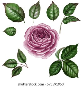 Purple rose. Watercolor rose. Watercolor flower with leaves. Floral elements. Botanical illustration. Hand drawn illustration. Isolated on white. botanical art. vintage flower. green leaves.