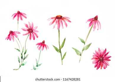 Purple Rudbeckia, Echinacea purpurea - watercolor sketches of flowers, leaves