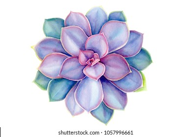 purple succulents,  echeveria, watercolor illustration botanical painting